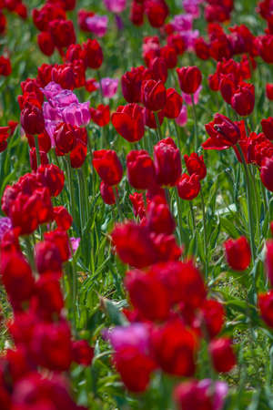 red and pink tulip flower bed