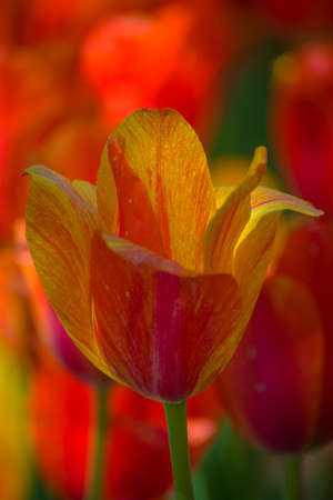 Closeup of a yellow and red tulip 免版税图像