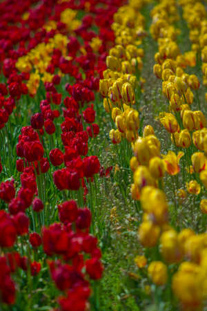 Red and yellow tulip flower bed