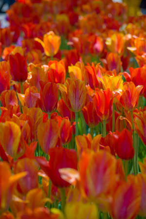 multicolored tulip flower bed