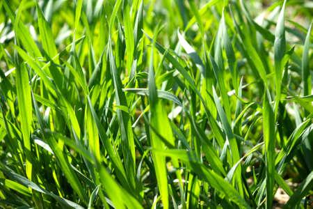 grass blade close up. Close Up Of Blades Grass In A Green Field Photo Blade T