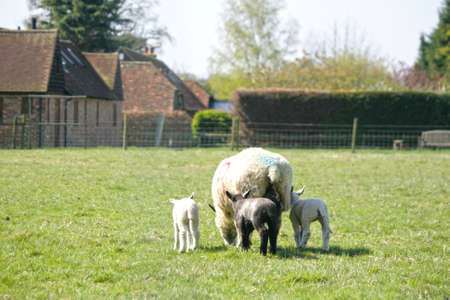 spring lambs: Spring lambs feeding with the mother sheep.