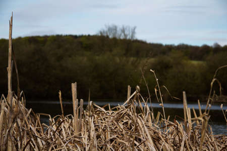 bullrush: Rushes along a river bank in the Chilterns, England