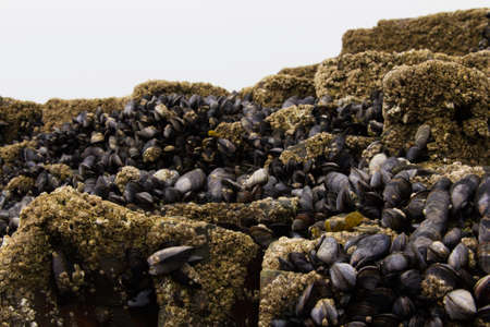 shellfish: Muscles clinging to the rocks at low tide