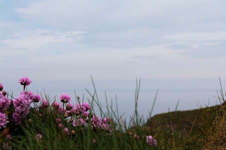 cornwall: Flowers along the costal path in Cornwall