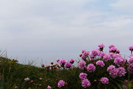 costal: Flowers along the costal path in Cornwall