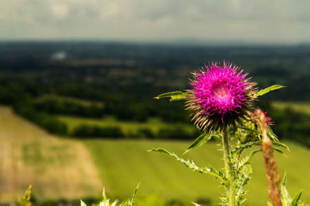 Pink thistle against view over the Chilterns in Buckinghamshire, England Standard-Bild