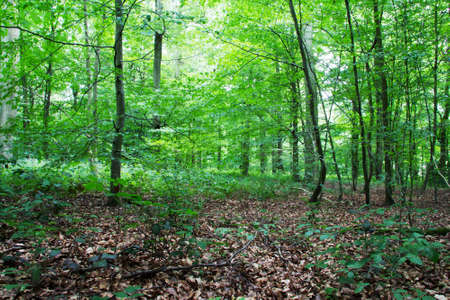 Woods in summer with light shinning through green leaves Stock Photo
