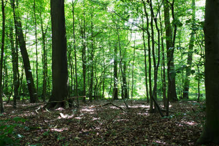 shinning leaves: Woods in summer with light shinning through green leaves Stock Photo