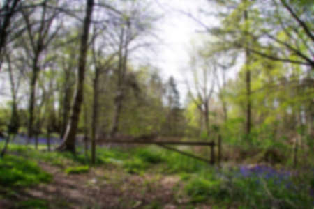 bluebell woods: Countryside walk with bluebells along the path. Chilterns, England. Out of focus.
