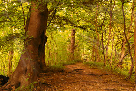 Leafy view through English woodland in the summer
