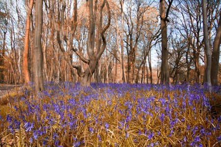 bluebell woods: Close up of bluebells in a meadow