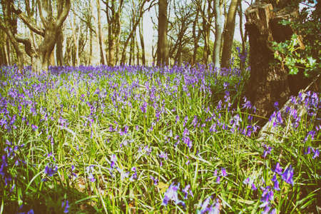 bluebell woods: Close up of bluebells in a meadow shallow DOF Stock Photo