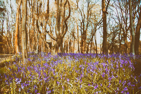 Close up of bluebells in a meadow shallow DOF Stock Photo
