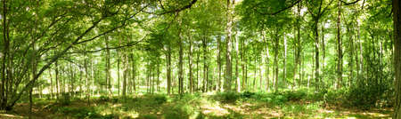 shinning: Woods in summer with light shinning through green leaves Stock Photo
