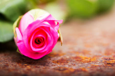 Delicate rose on a rustic rusted metal background Stock Photo