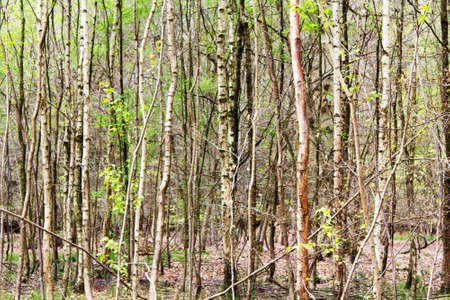 English woodland coming to life in the spring