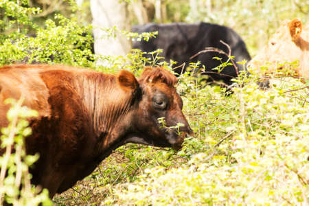 Cows grazing in beautiful english woodland during spring