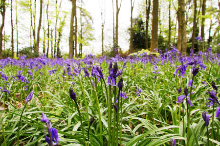 Bright bluebells growing on an english woodland floor