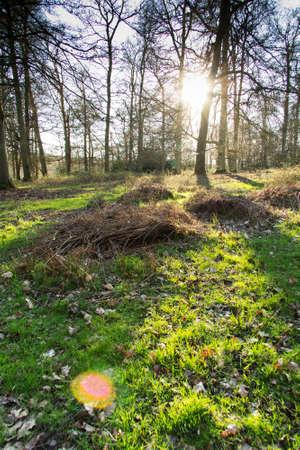Low sun through trees in english woods Standard-Bild