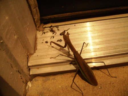 Praying Mantis At Doorstep Reklamní fotografie