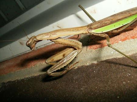 Praying Mantis, Tan, Green