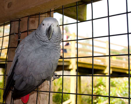 An African Grey Parrot. Stock Photo - 7757304