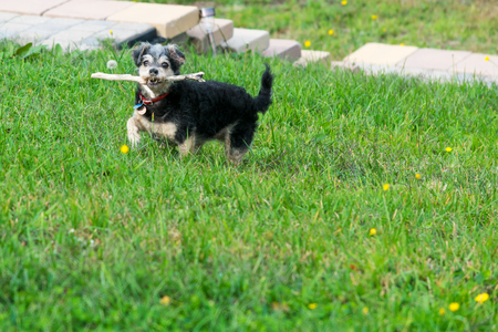 Small dog running and playing with a stick in the grass