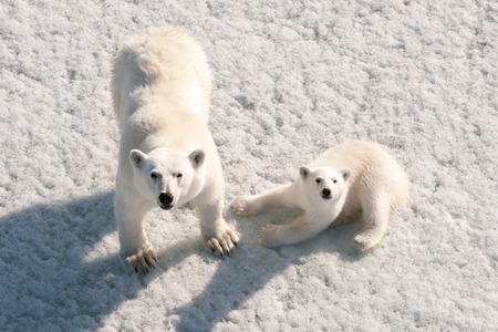 Polar bear mother and cub on frozen ocean, Franz Josef Land, Russia
