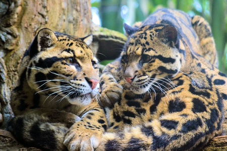 spotted: Spotted Leopards Stock Photo