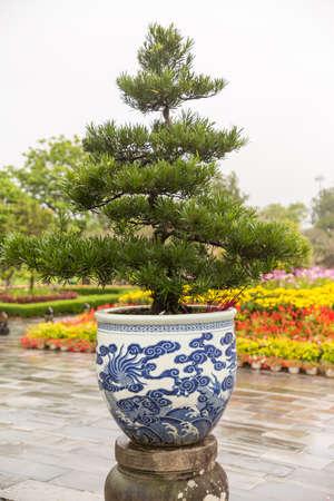 Large Bonsai tree in Hue, Vietnam