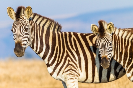 Wildlife Animals zebra with year calf alongside in morning light close detail photo