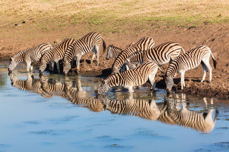 Wildlife animals zebra herd drinking water with mirror glass reflections in morning light Stock Photo