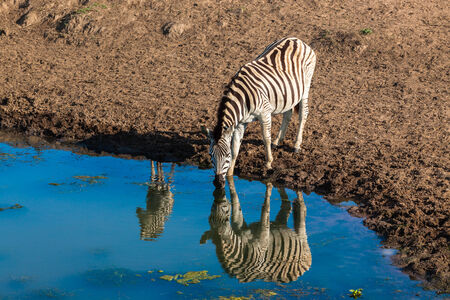 Zebra with calf animals with mirror water reflections drinking early morning photo
