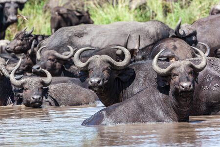 Wildlife animals buffalos cooling off at midday in water hole photo