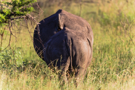 Rhino s mother calf walking away from danger backside view of animals photo
