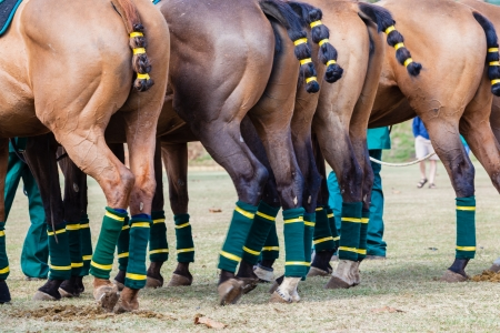 Equestrian Polo Horse Ponies tails bandaged legs bandages for protection Stock Photo - 24734734