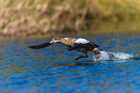 Geese bird  flaps its wings and runs on water to lift for flight photo