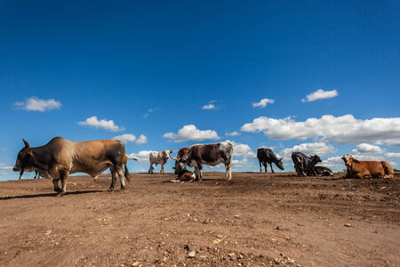 Cattle herd on bare earth soil ,once grass field for grazing in blue sky  Industrial encroachment on agricultural rural countryside land  photo