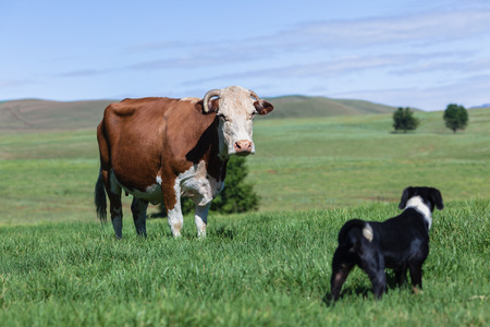 david and goliath: Dog s playtime to harass cow animal in green field Stock Photo