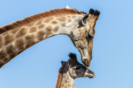 Giraffe mother touching affections protecting her calf animal in wildlife terrain photo