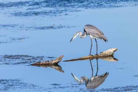 Bird grey heron species hunting fish in wetland lake waters habitat wilderness reserve photo
