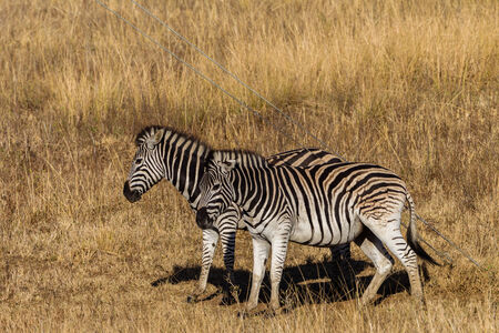 rugged terrain: Zebras back rubbing steel cable Wildlife animals in their habit wilderness reserves in herds over the rugged terrain  Stock Photo