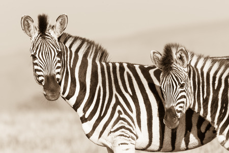 Zebra with year old calf wildlife animals alert in their habitat wilderness reserve terrain  photo