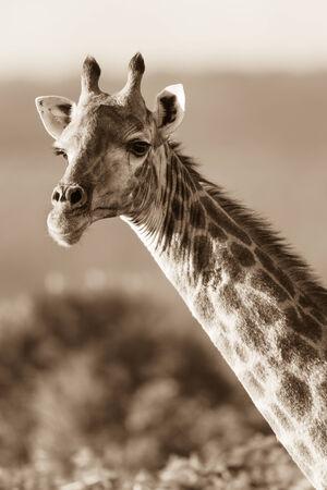 contrasts: Giraffe head neck sepia tone contrasts of wildlife animal in habitat wilderness reserve terrain