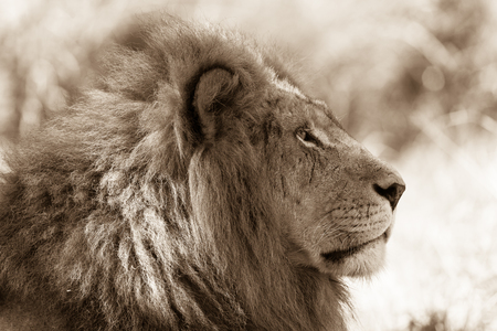contrasts: Lion king stare head neck sepia tone contrasts of wildlife animal in habitat wilderness reserve terrain