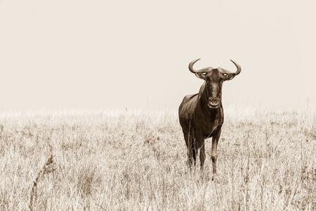 contrasts: Bull blue wildebeest alone grasslands in sepia tone contrasts of wildlife animal in habitat wilderness reserve terrain