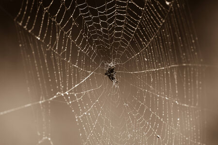contrasts: Spider and web sepia tone contrasts of wildlife wilderness reserve terrain  Stock Photo