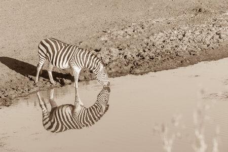 pozo de agua: Fauna Zebra animales mañana en la charca con reflexiones de espejo en la reserva desierto