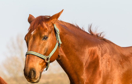 kz: Horse animal closeup portrait of chestnut breed Stock Photo